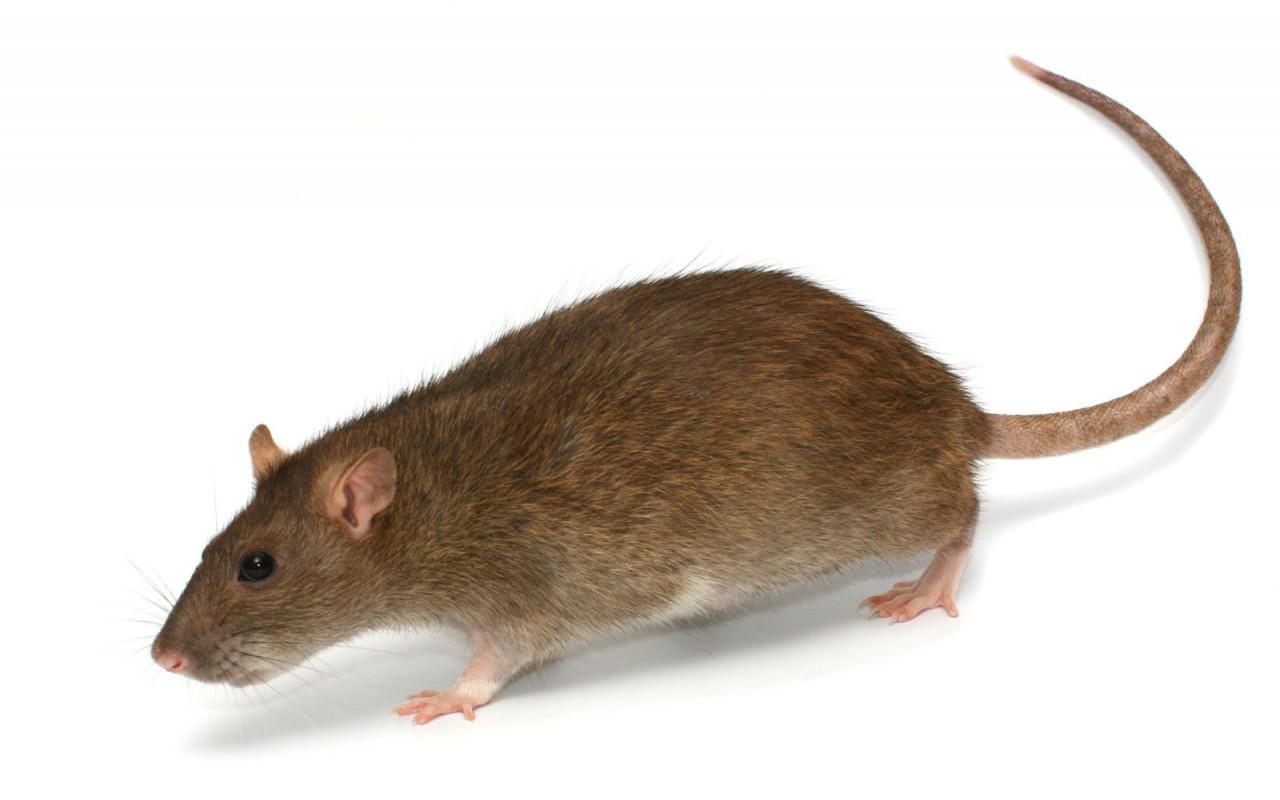 Rattenvorkommen in Schwalbach